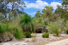 Australian Nature Reserve: Yakka Trees royalty free stock photography
