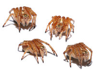 Australian Orb spiders. On a white background made into a collage Stock Photography