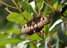 Australian Orchard Swallowtail butterfly at rest. On branch Royalty Free Stock Image