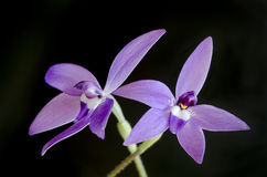 Australian orchid, Glossodia major Stock Photography