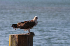 Australian osprey Fish Hawk Royalty Free Stock Photos