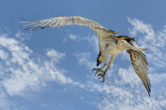 Australian Osprey. Sea Eagle Pandion haliaetus Royalty Free Stock Photo