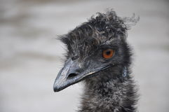 Ostrich EMU Royalty Free Stock Images