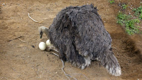 Australian Ostrich on the Nest Stock Photo
