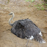 Australian Ostrich on the Nest Stock Images