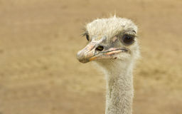 Australian Ostrich headshot Royalty Free Stock Photography