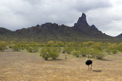 Australian Ostrich. Roaming free near Picacho Peak, Arizona Stock Photos