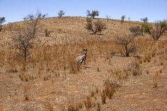 Australian Outback Kangaroo Stock Photos