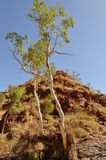 Australian outback ghost gum tree in rocks  Royalty Free Stock Images
