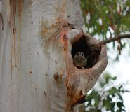 Australian Owlet-nightjar `Aegotheles cristatus` in a tree hollow stock photography
