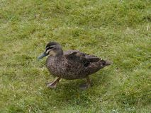 Australian pacific black duck Stock Photos