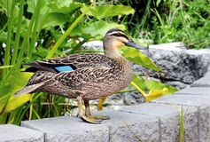 Australian Pacific Black Duck Royalty Free Stock Image