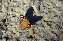 Australian Painted Lady Butterfly casting a big shadow Stock Photo