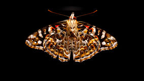 Australian Painted Lady Butterfly Stock Image