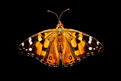 Australian Painted Lady Butterfly Royalty Free Stock Photography
