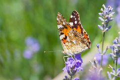 Australian painted lady butterfly sitting on wild lavender flowers. Wild Lavender Blossom royalty free stock photography