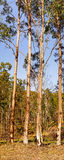 Australian Panoramic Landscape Tall Gum Trees Stock Photography