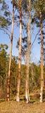 Australian Panoramic Landscape Tall Gum Trees Stock Photography