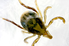 Australian paralysis tick Royalty Free Stock Images