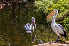 Australian park. Two large waterfowl pelicans. Australian park. Two large waterfowl Australian pelicans with a pink beak swim in a shallow pond. Pelicans are stock photography