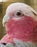 Australian Parrot. A pink Australian parrot, a Galah Royalty Free Stock Photos