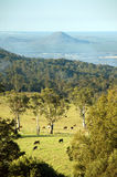 Australian pastures. Cows grazing in a field near the Glass House Mountains, Queensland, Australia; Mount Ngungun in the background Stock Photography