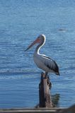 Australian Pelican. Standing on rails on tidal lake on the south coast of NSW Australia Royalty Free Stock Photos