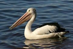 Australian Pelican Royalty Free Stock Photo