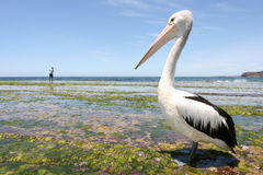 Australian pelican. In foreground and fisherman in the distance Stock Photos