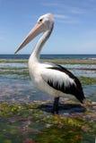 Australian pelican. Standing in seaweed Stock Photo