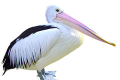 Free Australian Pelican Stock Photo - 36429570
