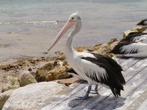 Free Australian Pelican Stock Photos - 37524943