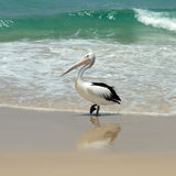 Australian pelican Stock Photos
