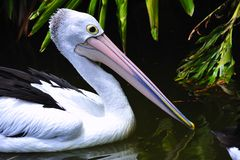 Australian Pelican Royalty Free Stock Photo