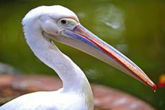 Australian pelican Stock Images