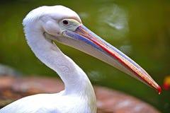 Australian pelican Stock Images