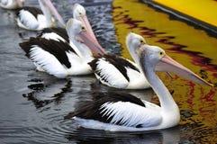 Australian Pelican Royalty Free Stock Image