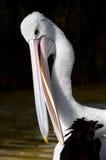 Australian Pelican. A closeup shot of an Australian Pelican Royalty Free Stock Photos