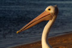 Australian pelican at the beach, Shark Bay Stock Image