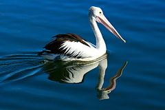 Australian Pelican Bird, Pelecanus conspicillatus, Close-up Swimming with Water Reflections. Black and white Australian Pelican Bird, Pelecanus conspicillatus Royalty Free Stock Photos