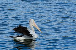 Australian Pelican bird swimming alone in the water lake at Sydney centennial park. An Australian Pelican bird swimming alone in the water lake at Sydney stock photography