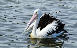 Australian Pelican bird swimming alone in the water lake at Sydney centennial park. An Australian Pelican bird swimming alone in the water lake at Sydney stock image