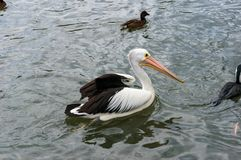 Australian pelican bird swimming in a pond. Wildlife waterfowl in natural environment Royalty Free Stock Images