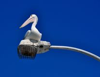 Australian Pelican in the Blue Royalty Free Stock Image