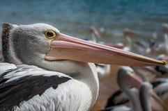 Australian pelican. A close up shot of an Australian pelican Royalty Free Stock Photography