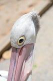 Australian Pelican Closeup Royalty Free Stock Images