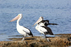 Australian Pelican - The Coorong royalty free stock images