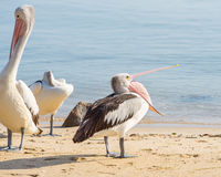 Australian Pelican, Coral Sea, Cairns, QLD, Australia. Australian pelican (Pelecanus corspicillatus) with beak open, on a beach in Cairns off the coast of the Stock Images