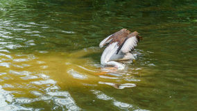 Australian Pelican dives. Large waterbird Stock Photography