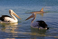Australian Pelican and dolphin Stock Photo